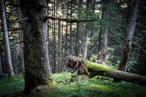 Photographie de forêt de montagne